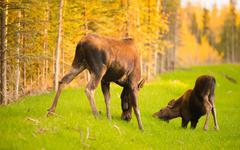 Wild Moose Cow Calf Animal Wildlife Marsh Alaska Greenbelt Stock Photos