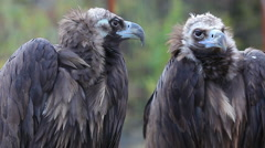 Two Cinereous vultures together. Stock Footage