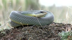 Eastern yellow belly racer snake coiled in the dirt. Stock Footage