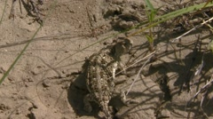 Stock Video Footage of Alberta, Greater Short-horned Lizard
