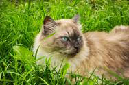 Stock Photo of Cat with blue eyes lies in grass