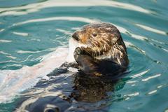 Wild Sea Otter Eats Fresh Fish Reserrection Bay Animal Wildlife - stock photo