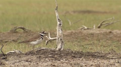 Killdeer bird squawking in an Alberta field. - stock footage