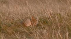 Swift fox sleeping in a field. (Zoom) Stock Footage