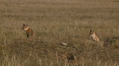 Pair of swift fox cubs observing their surroundings in an Alberta field. Stock Footage