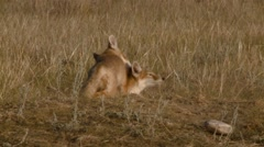 Pair of swift fox cubs cleaning each other. Stock Footage