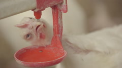Chicken drinking water on poultry farm Stock Footage