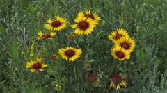 Cluster of brown eyed susans in an Alberta field. Stock Footage