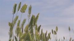 Tall seeding grass growing in the Alberta prairies. - stock footage