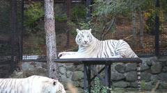 White tiger in the zoo Arkistovideo