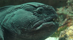 Close Up Face Of Wolffish Stock Footage