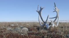Caribou skull and antlers lying upon the frozen tundra. Stock Footage