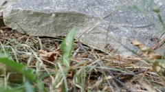 Ants skitter around large rock. - stock footage