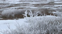 Snow tipped bush in the Arctic tundra. Stock Footage