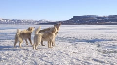 Agitated arctic sled dogs tied up on sea ice in Arctic Bay, Nunavut. - stock footage