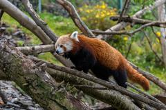 Red Panda walking in some trees - stock photo