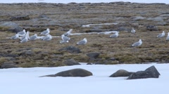 Group of arctic seagulls sitting in the tundra. Stock Footage