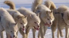 Arctic sled dogs pulling a qamutik across sea-ice. - stock footage
