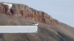 Perching snow bunting bird. Stock Footage