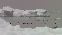 Group of eider ducks swimming in the Arctic. Stock Footage