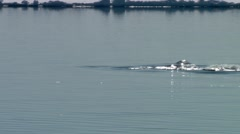 Group of Narwhals swimming in the Arctic ocean. Stock Footage