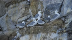 Seagulls perched on an Arctic cliffside. Stock Footage