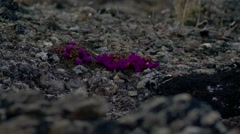 Patch of Purple Saxifrage flowers amongst the Arctic sea/mountain landscape. Stock Footage