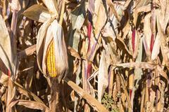 Drooping Ear of Autumn Corn - stock photo