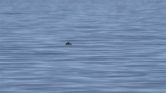 A Ringed Seal swimming through the Arctic ocean. Stock Footage