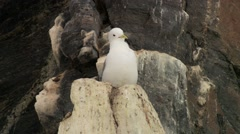 Seagull perched on an Arctic cliffside. Stock Footage