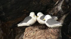 Seagulls perched in a nest in an Arctic cliffside. Stock Footage