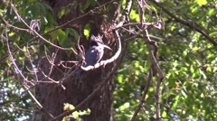 Belted kingfisher close up sitting on tree branch nature Stock Footage