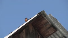Barn Swallow perched on a barn rooftop flies away. Stock Footage