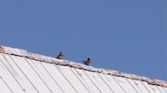 Barn swallows attempting to mate while perched on a barn roof. - stock footage