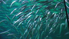 School Of Sardines In Aquarium Stock Footage