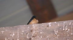 Barn Swallow perched on a beam in the roof of a barn flies away. - stock footage