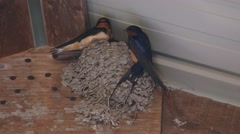 Two Barn Swallows in their nest fly away. Stock Footage