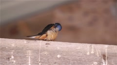 Barn Swallow perched on a beam in a barn. Stock Footage