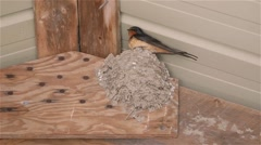 Barn Swallow sitting in its nest. Stock Footage