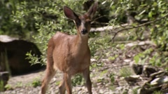 Doe walking out of a forest in British Columbia. (Zoom) Stock Footage