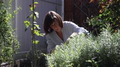 Woman gardening, working in flower garden, equipment, lavender bush Stock Footage