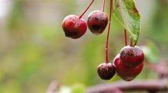 Red berries rotting on a branch with rain drops on them. - stock footage