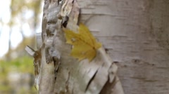 Bark peeling off a birch tree in an Ontario forest. Stock Footage