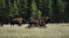 Herd of bison grazing in a grassy pine-forest clearing. Stock Footage