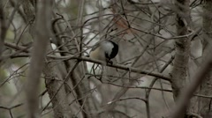 Black Capped Chickadee perched upon a branch. Stock Footage