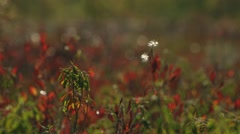 Red flowered bog flora. (Rack) Stock Footage