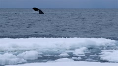 Bowhead whale swimming through the Arctic ocean. Stock Footage