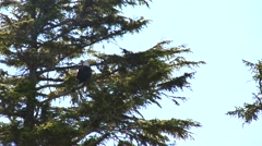 Bald Eagle perched in a spruce tree. Stock Footage