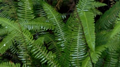 Wet ferns in a British Columbian rain forest. - stock footage