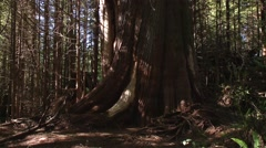 Huge tree in a British Columbian rainforest. (Tilt) Stock Footage